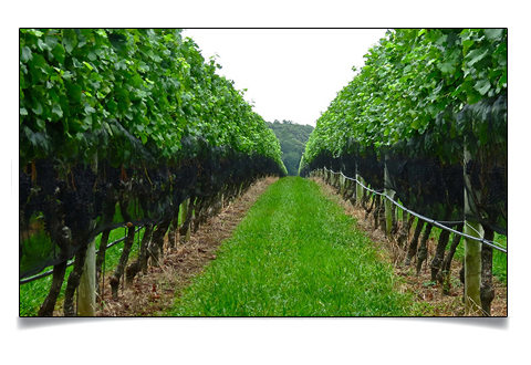 North Fork Long Island LI Vineyard Tours NY