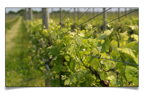 North Fork Long Island Vineyard Tours on Long Island